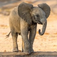 Sub-Gallery ID: 3943 Elephants