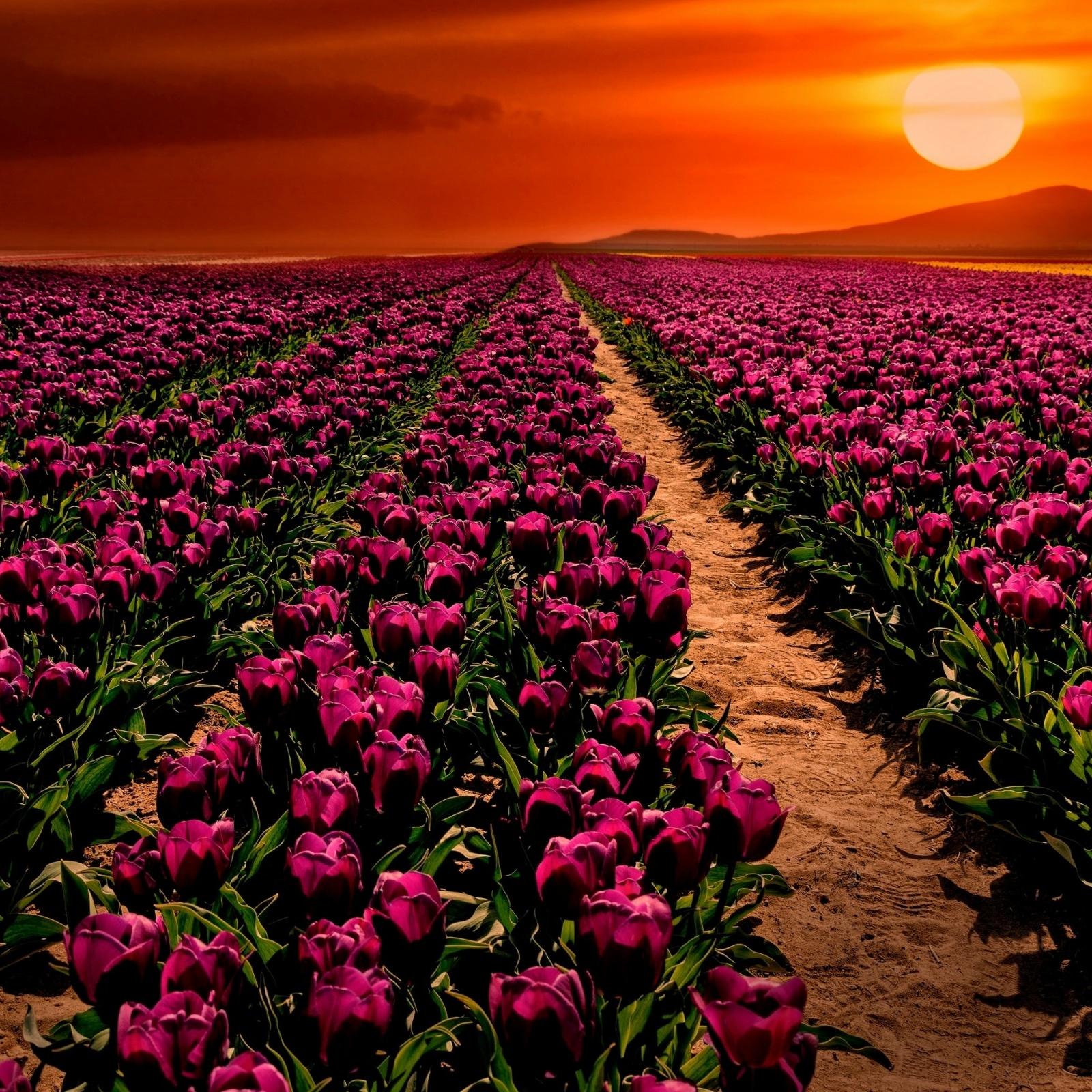 тюльпаны поле розовые закат скачать