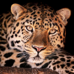 Sub-Gallery ID: 3952 Leopards