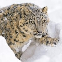 Preview Snow Leopards