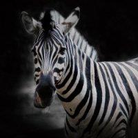 Preview Zebras