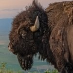 Preview Bison / Buffalo